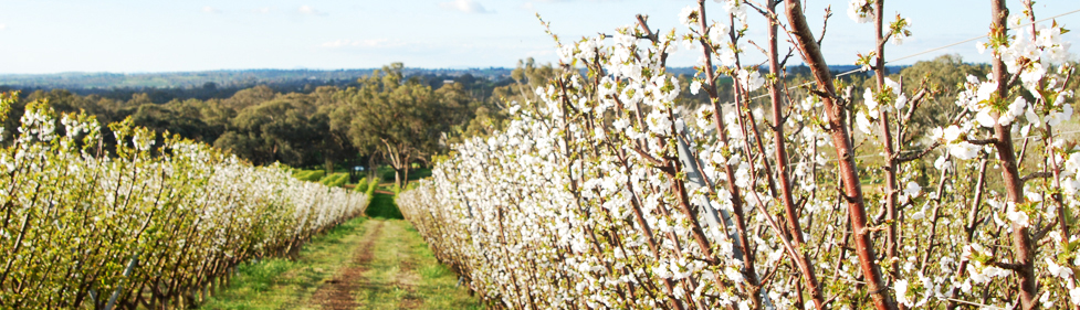 Cherry blossom orchard